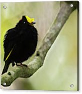 Golden-winged Manakin Acrylic Print