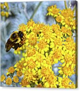 Golden Yarrow And Visitor Acrylic Print