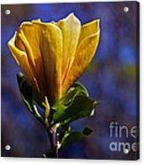 Golden Yellow Magnolia Blossom Acrylic Print