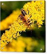 Goldenrod Beetle Acrylic Print