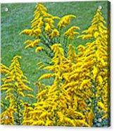 Goldenrod Flowers Acrylic Print