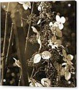 Goldenrod In Sepia Acrylic Print