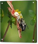 Goldenrod Spider Acrylic Print