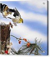 Goldfiches Flying Over Lichen Stump Acrylic Print
