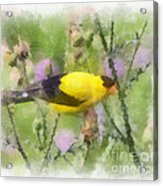 Goldfinch #3 By Kerri Farley Acrylic Print