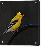Goldfinch 3 Acrylic Print