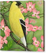 Goldfinch And Dogwood Acrylic Print