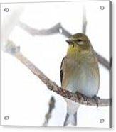 Goldfinch Acrylic Print