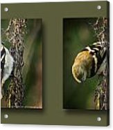 Goldfinch Collage Acrylic Print