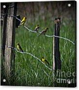 Goldfinch Gathering Acrylic Print