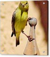 Goldfinch Hanging On 031015ac Acrylic Print