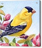 Goldfinch In A Crab Apple Tree Acrylic Print