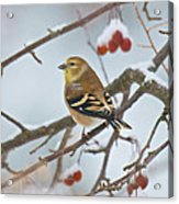 Goldfinch In Snow Acrylic Print