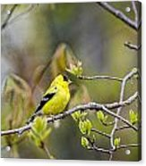 Goldfinch In Spring Acrylic Print