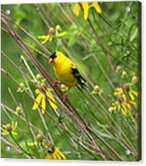 Goldfinch In The Flowers Acrylic Print