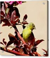 Goldfinch In Tree 031015a Acrylic Print