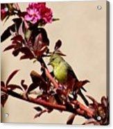 Goldfinch In Tree 031015aa Acrylic Print