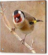 Goldfinch Male Carduelis Carduelis Acrylic Print