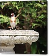 Goldfinch On Birdbath Acrylic Print