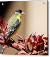 Goldfinch On Branch 031015aab Acrylic Print