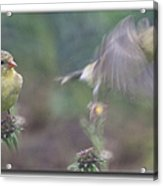 Goldfinch On Echinacia Acrylic Print