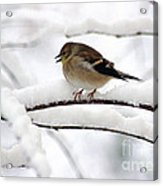 Goldfinch On Snowy Branches Acrylic Print
