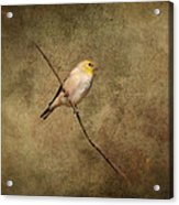 Goldfinch Portrait Acrylic Print