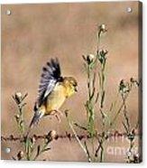 Goldfinch Quest 2 Acrylic Print