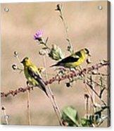 Goldfinch Quest 5 Acrylic Print