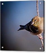 Goldfinch Visit Acrylic Print