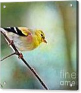 Goldfinch With Rosy Shoulder - Digital Paint IIi Acrylic Print