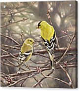 Goldfinches In The Rain Acrylic Print