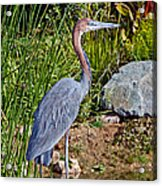 Goliath Heron By Water Acrylic Print