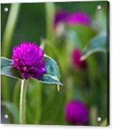 Gomphrena Flowers Acrylic Print