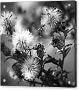 Gone To Seed Wild Aster Acrylic Print