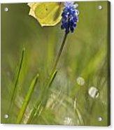 Gonepteryx Rhamni On The Blue Flower Acrylic Print