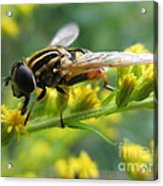 Good Guy Hoverfly  Acrylic Print
