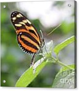 Good Morning Butterfly Acrylic Print