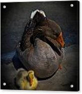 Goose And Gosling Acrylic Print
