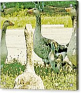 Goose Chat Acrylic Print by Artist and Photographer Laura Wrede