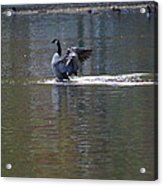 Goose Cleaning Acrylic Print