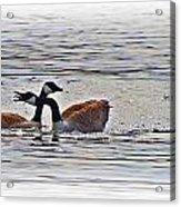 Goose Crossing Acrylic Print