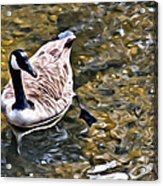 Goose In The Water Acrylic Print