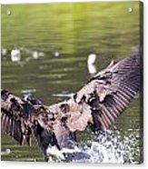 Goose Landing II Acrylic Print