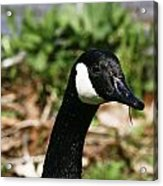 Goose Neck  Acrylic Print by John Holloway