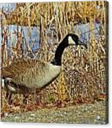 Goose On The Edge Acrylic Print