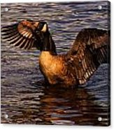 Goose Preparing For Flight Acrylic Print
