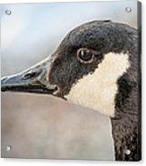 Goose Profile Acrylic Print