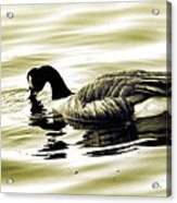Goose Reflecting In The Water Acrylic Print