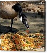 Goose Sticking Tongue Out Acrylic Print